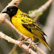 African Birds Sounds Free by luminous apps