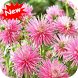 Dahlia cactus by Seaweedsoft