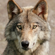 Wolf Jigsaw Puzzles by borzoapps
