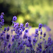 Lavender Flower Wallpapers by fryttyteam