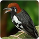 Suara Burung Anis Kembang : Masteran Anis Kembang by Nic and Chloe Studio