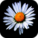 Daisy Wallpapers Free HD by Rumah Kita Studio