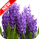 Hyacinth Wallpapers