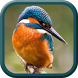 Kingfisher Bird Wallpapers by Golden Leaf