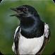 Suara Burung Kacer Poci: Kicau Kacer Poci Masteran by Nic and Chloe Studio
