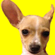 Fifi - The Friendly Chihuahua! by Mega Appz