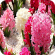 Hyacinths Wallpapers by My Book