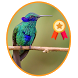 Masteran Kicau Kolibri Ninja by Riandroid