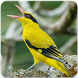 Suara Burung Kepodang : Masteran Burung Kepodang by Nic and Chloe Studio