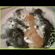 Kucing Cantik Cantik sekali versi2 by Aplication World Class Inc