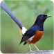 Suara Burung Murai Batu Gacor : Kicau Murai Isian by Nic and Chloe Studio