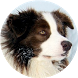 Border Collie Wallpapers by AcrDev