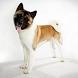Akita Dog by Free Info Team