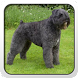Bouvier des Flandres Theme by Fun Apps and Themes
