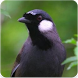 Suara Burung Poksay : Masteran Poksay Gacor by Nic and Chloe Studio