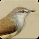 Suara Burung Ciblek Gacor : Masteran Ciblek by Nic and Chloe Studio
