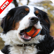Bernese Mountain Dog Wallpaper by ImperialApps