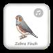 Kicau Zebra Finch Gacor Juara by octopus inc
