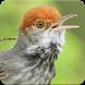Suara Burung Prenjak Gacor: Kicau Prenjak Masteran by Nic and Chloe Studio