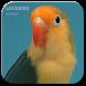 Kicau Master Lovebird by jendraldev