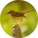 Master Kicau Burung Ciblek by semestadev