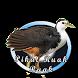 Suara Pikat Burung Ruak Ruak by Holy dev