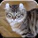 American Curl Cat by MuhammadDuffy3klp