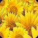 Sunflower Wallpaper by My Book
