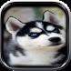 Siberian Husky Wallpaper HD by Bsman