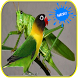 Masteran Walang Kecek dan Lovebird by gemilang developer