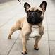 French Bulldogs Wallpapers by fansofdogs