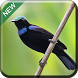 Kicau Kolibri Terbaik by kicau mania apps
