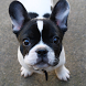 French Bulldog Dogs Wallpapers by altothem
