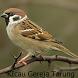 Kicau Burung Gereja Tarung by Tidut app
