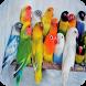 Kicau Lovebird Juara Nasional by Malia Danu