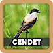 Master Kicau Burung Cendet by Juns Project