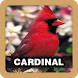 Cardinal Bird Singing Sound by Juns Project