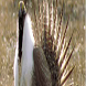 Save The Sage Grouse by Masters_OF_STEM