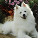 Toy American Eskimo Dog Puzzle by fundogpuzzle