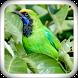 Greater Green Leafbird by JSapp