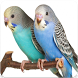 Budgerigar Bird Sound : Budgie Sing & Budgie Song by Nic and Chloe Studio
