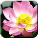 Lotus Flowers Live Wallpaper by BAMBULKA Developer