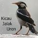 Kicau Jalak Uren by Tidut app