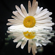 Camomile Jigsaw Puzzles by filsosoev