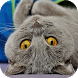 Chartreux Cats Wallpapers