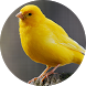 Canary Bird sounds by BirdDev