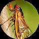 Cicada Sounds