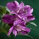 Purple Flowers Shine LWP by Daksh Apps