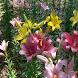 Tokorozawa Lily garden(JP041) by takemovies