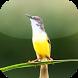 Suara Burung Ciblek by Mhmapp Studio